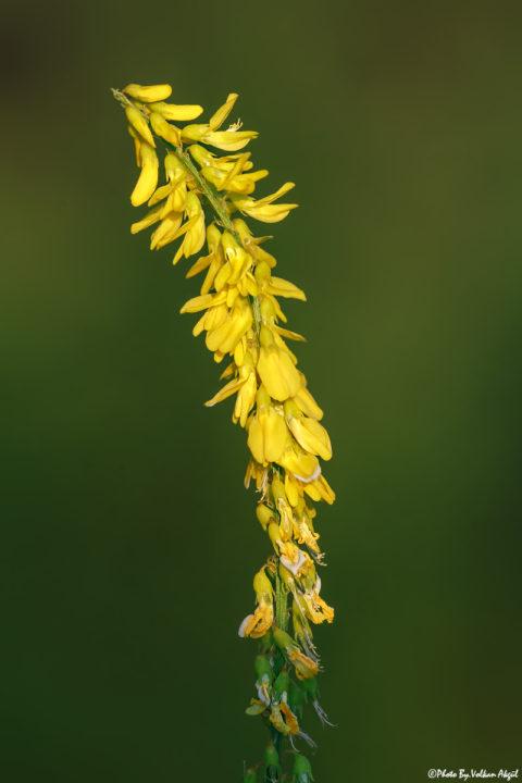 çiçek-fotoğrafı,-çiçek-resmi,-çiçekler,-sarı-çiçek