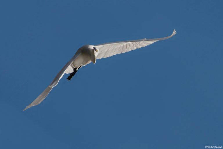 Egretta-garzetta-küçük-ak-balıkçıl-bird photography-kuş-çekimi