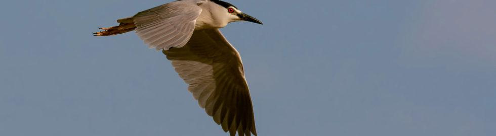 Gece-balıkçıl-kuşu-kuş-fotoğrafçılığı-bird-photography