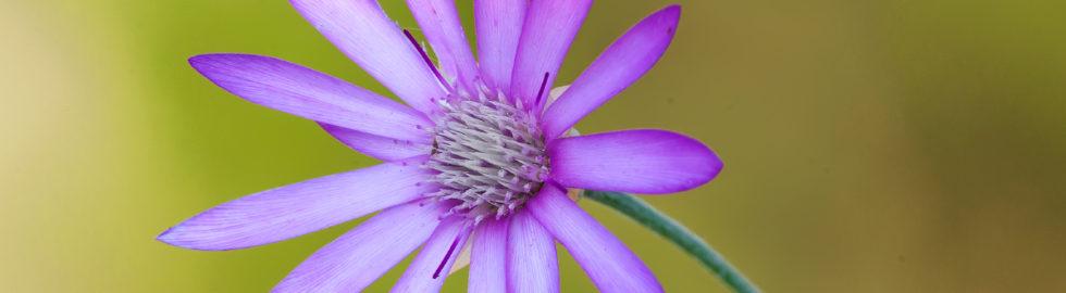 Makro-Çekim-Teknikleri-Çiçek-Resimleri-Çiçek-Fotoğrafı