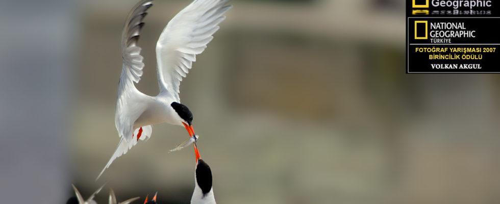 Sumru Kuşu Fotoğraf Çekim Teknikleri Sumru kuşları, kuş fotoğrafçılığında uçar diye adlandırılan çekimlerde estetik görünüm olarak yüksek seyir zevki veren özel bir tür. Bu türlerin net karelerini yakalayabilmek için uçan kuş fotoğraflarında pratik şart. Sumru kuşu fotoğraf çekim teknikleri ile başarılı uçar fotoğrafları çekebileceksiniz. Sumru Kuşları hakkında biraz bilgi edinelim […]