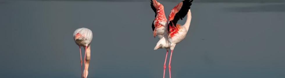 flamingo,-flamingo-fotoğrafları,-filamingo-çekimi,-flamingo-çekimi