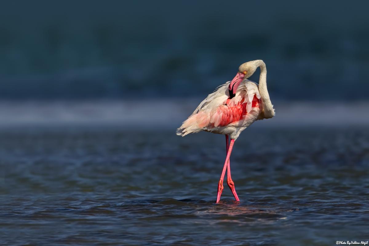 flamingo-flamingolar-flamingo-fotoğrafı-flamingo-fotoğraf-çekimi