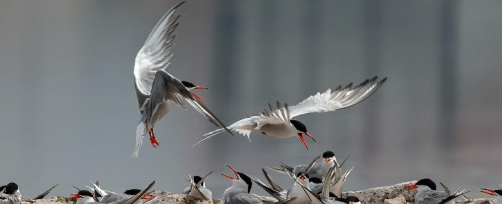 İlk kuş fotoğrafım, Kuş Fotoğrafçılığına Giriş Kuş fotoğrafçılığına gönül verme niyetinde olan arkadaşlara örnek teşkil etmesi amacı ile ilk kuş fotoğrafım ve kuş fotoğrafçılığına giriş başlıklı konuyu paylaşmak istedim. Umarım keyif alır, hakikat doğrultusunda ilerlersiniz. Kuş fotoğrafçılığı çekim teknikleri, uçar kuş fotoğrafları gibi bilgiler içeren konu başlıkları için tıklayabilirsiniz. Hey […]