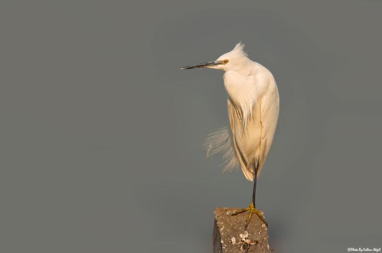 küçük-ak-balıkçıl-küçük-balıkçıl-balıkçıl-kuşu-küçük-ak-balıkçıl-fotoğrafı