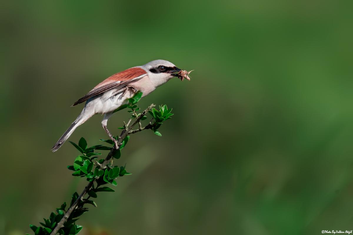 kızıl sırtlı örümcek kuşu kuş fotoğraflari