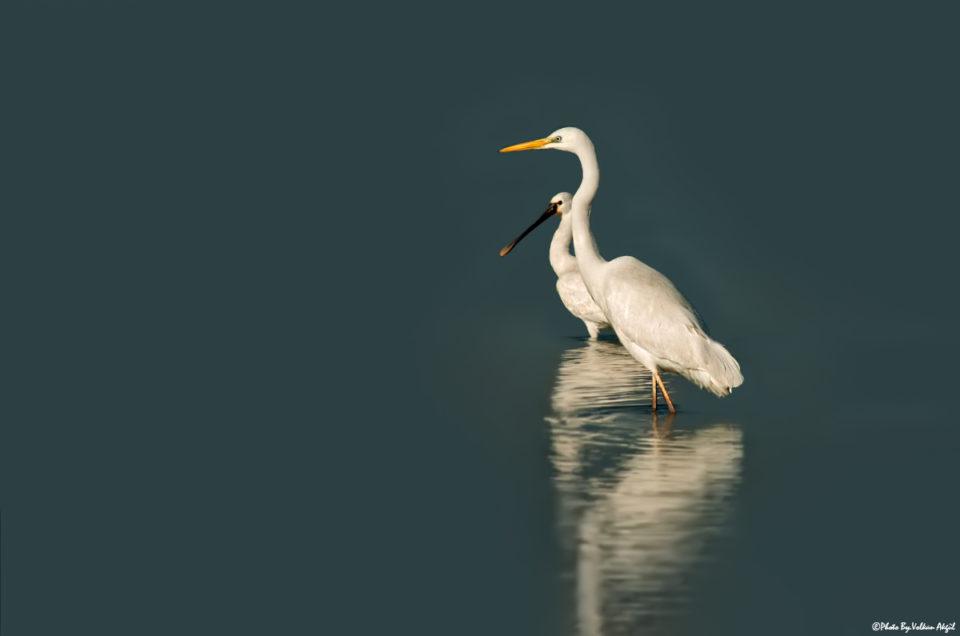 kaşık-gaga-büyük-ak-balıkçıl-balıkçıl-kuşu-balıkçıl-fotoğrafı