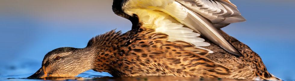 kuş-fotoğrafçılığı,-kuş-fotoğrafı-çekim-teknikleri,-yeşilbaş-ördek-bird-photography