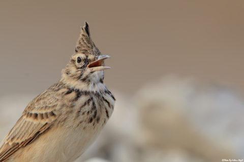 tepeli-toygar-kuş-fotoğrafçılığı,-kuş-fotoğraflarında-detay,-kuş-çekimi