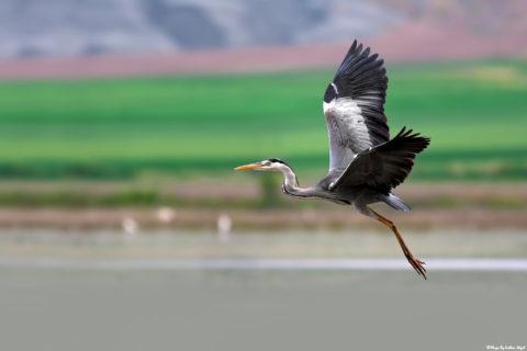grey-heron-bird-photography-kuş-fotoğrafçılığı-gri-balıkçıl