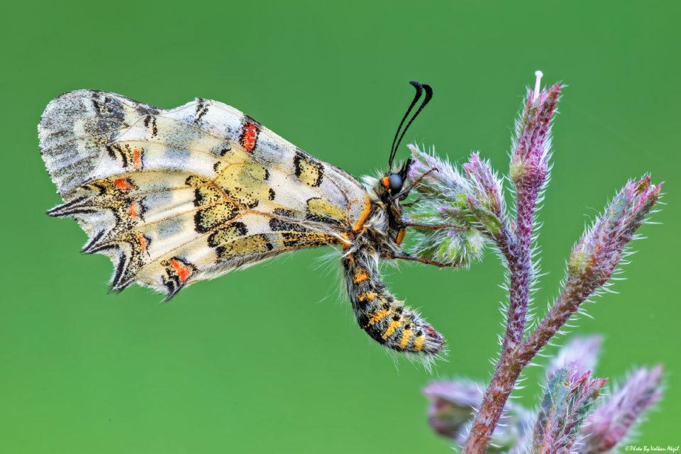 kelebek-çekimi,-kelebek-fotoğrafı,-kelebek-resmi