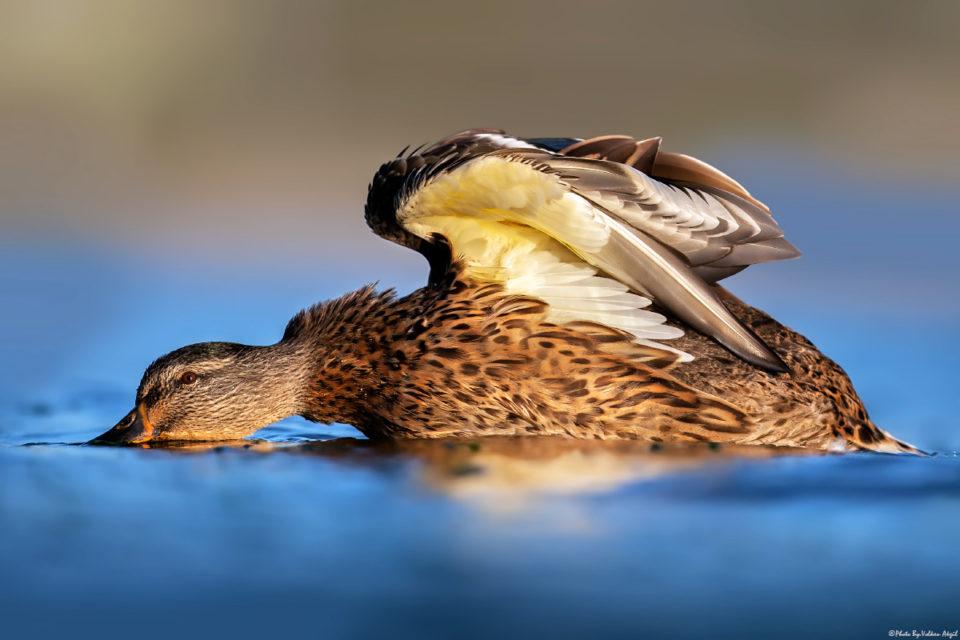 kuş-fotoğrafçılığı,-kuş-fotoğrafı-çekim-teknikleri,-yeşilbaş-ördek-bird-photo