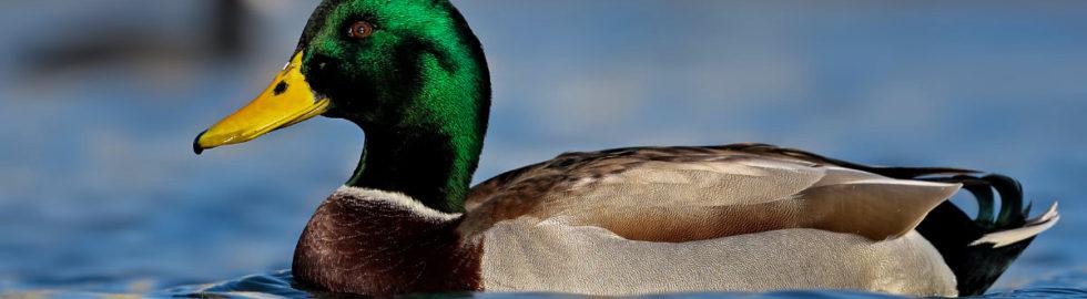 bird-photographer-yeşil-baş-ördek-kuş-fotoğrafçılığı-bird-photos