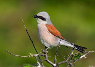 bird photography-red-backed shrike