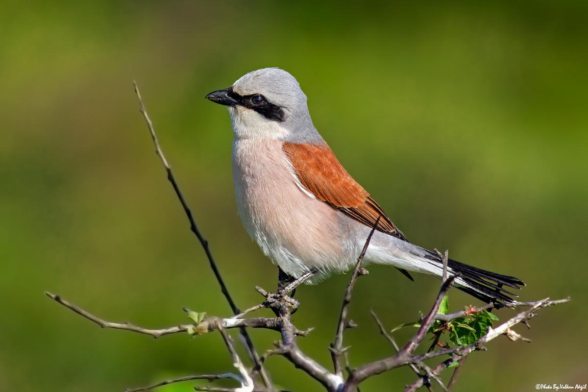 bird photography-red-backed shrike