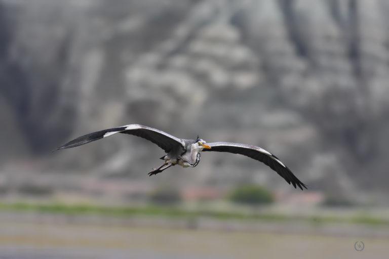 grey-heron-gri-bakılçıl-kuş-fotoğrafı-kuş-fotoğrafçısı
