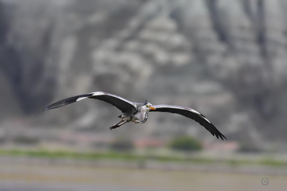 grey-heron-gri-bakılçıl-kuş-fotoğrafı-kuş fotoğrafçısı