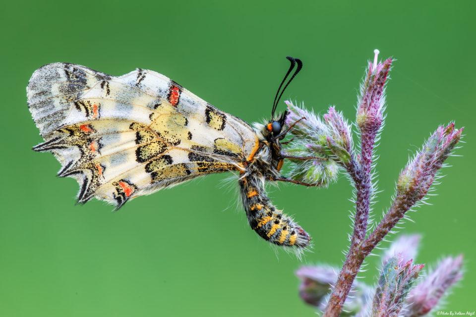 kelebek-çekimi,-kelebek-fotoğrafı,-kelebek-resimleri