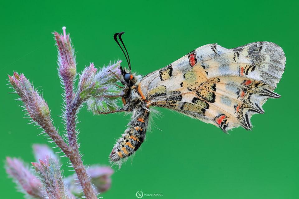 kelebek-fotoğraf-çekimi-kelebek-makro