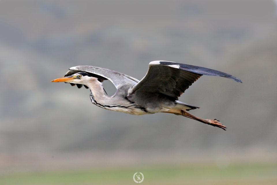 Grey Heron-Gri Bakılcıl-Kuş Fotoğrafçısı