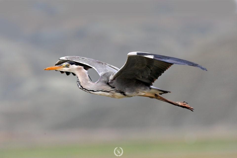 Kuş-Fotoğrafı-Grey-Heron