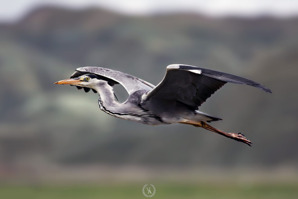gri-balıkçıl-kuşu-grey-heron-bird-photography-bird-photo-gri-balıkçıll
