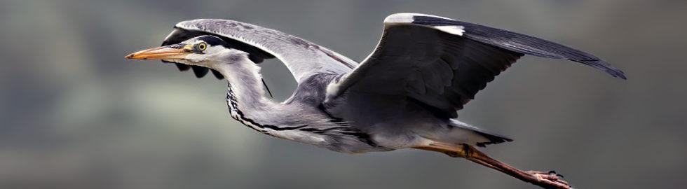 gri-balıkçıl-kuşu-grey-heron-bird-photography-bird-photo-gri-balıkçıll