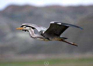 kuş-fotoğrafcisi,-grey-heron,-gri-balıkcıl,-bird-photoghraphy