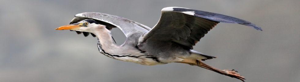 Kuş-Foto-Grey-Heron-Gri-Balık
