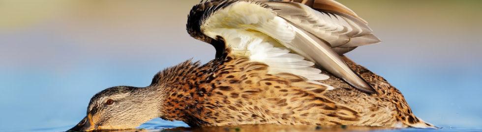 kuş-fotoğrafçısı-yeşilbaş-ördek-volkan akgül