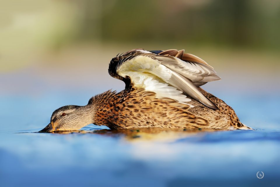 kuş-fotoğrafçılığı-yeşilbaş-ördek-bird-photo