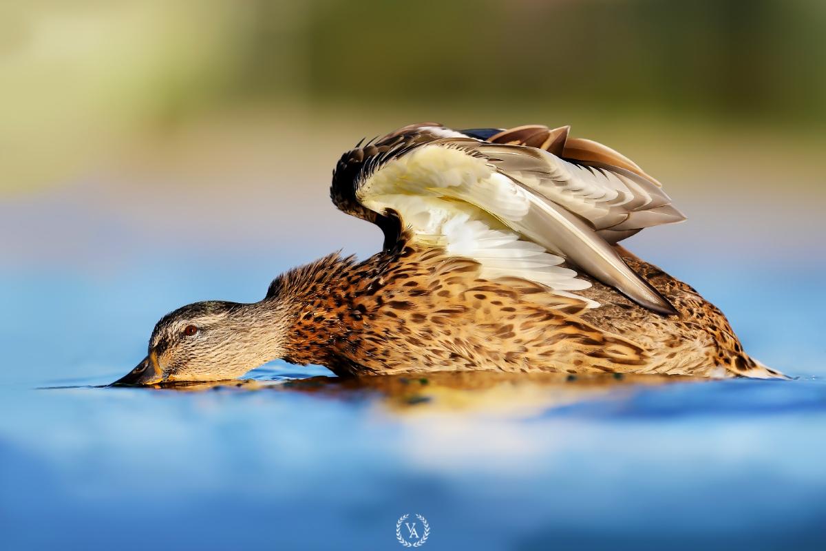 Doğa Fotoğrafalri Çekim Tekniği Kuş Fotoğrafı Yeşilbaş ördek