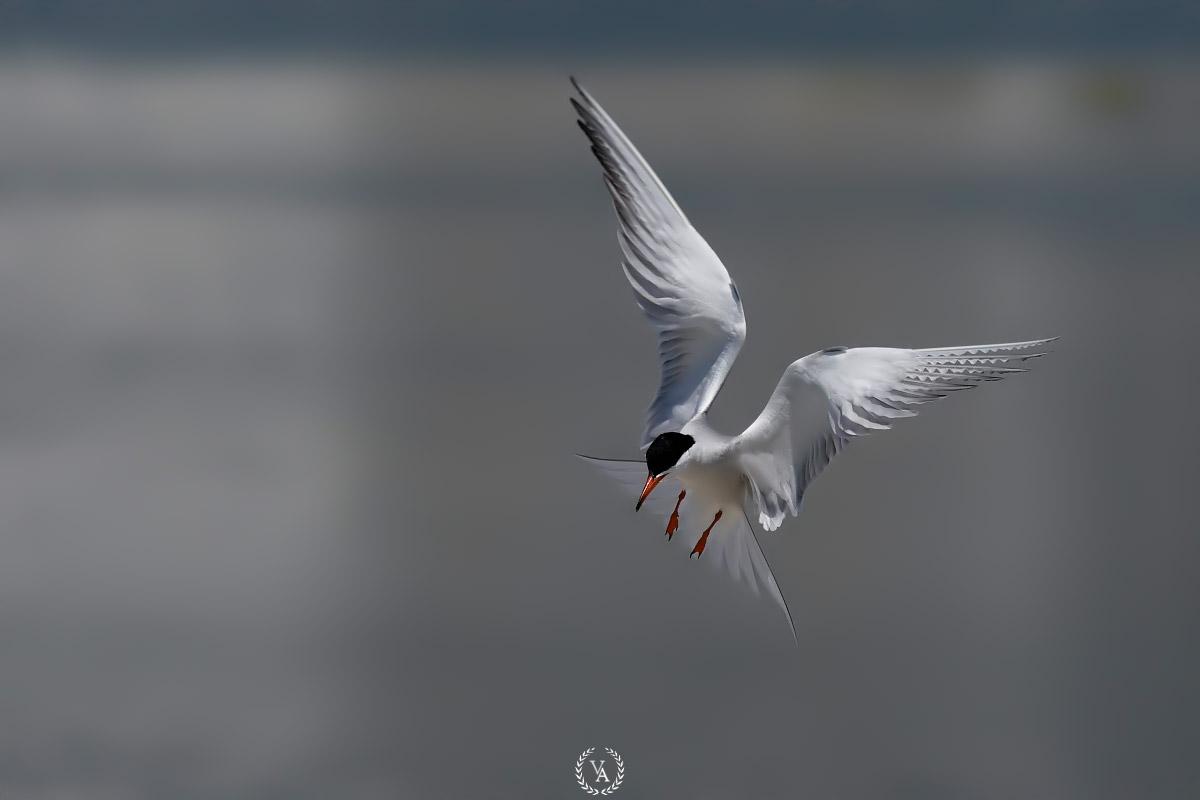 canon eos Common tern fly birding