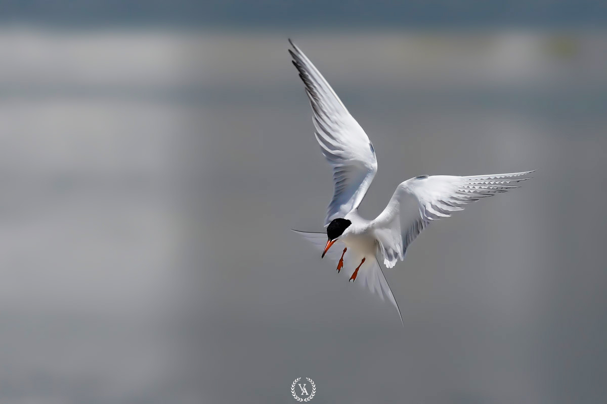 canon eos Common tern fly birding