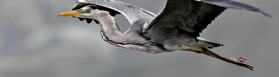 grey-heron-bird-fly-volkan-akgul