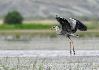 grey-heron-fishing-canon-400mm-f5.6-photo-fly-canon-1d-mark
