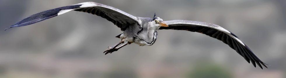 grey-heron-gri-balıkcıl-bird-kus-fotografı-canon-1dmark-ııı-canon-400mm-f5.6