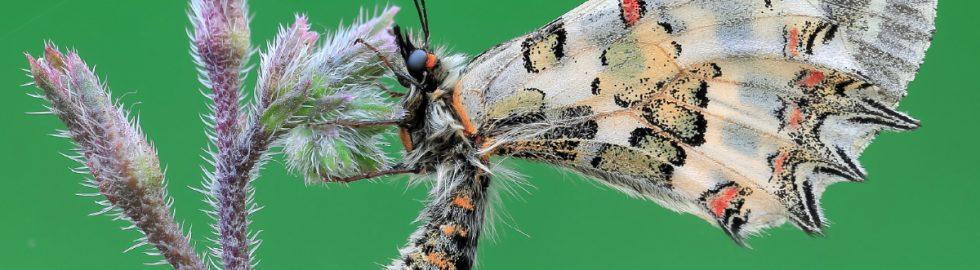 kelebek-fotoğraf-çekimi-kelebek-makro-fotoğraf-volkan-akgul