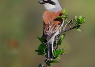 red-back-shrike-birds-photo-technics-volkanakgul