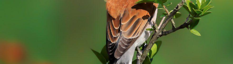 red back shrike birds photo technics volkanakgul
