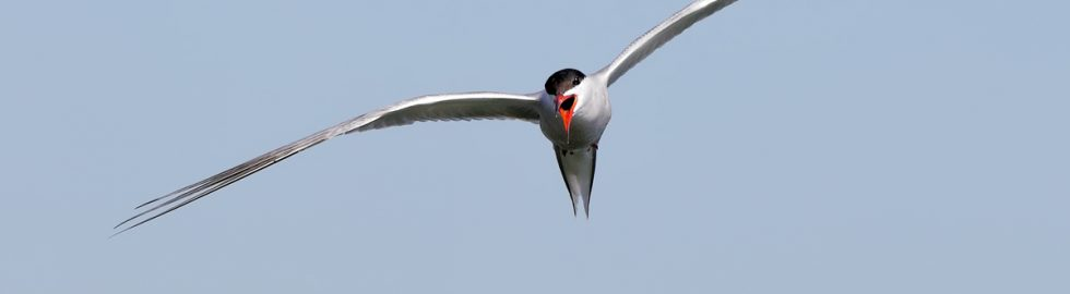 canon1dxmarkıı-canon500mmf4-bird-fly-volkan-akgul-common-tern-photo