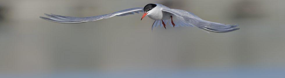 common tern sumru kusu göcmen kuslar volkan akgul