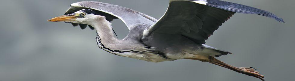 grey-heron-bird-fly-settings-volkan-akgul-nallihan-kus- cenneti-ankara