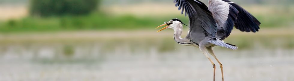 grey-heron-bird-photography-volkan-akgul-canon