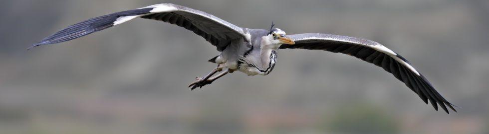 grey heron volkan akgul gri balıkcil kus fotografı nallihan kus cenneti ankara