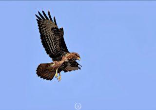 volkanakgul-buzzard-photo-canon