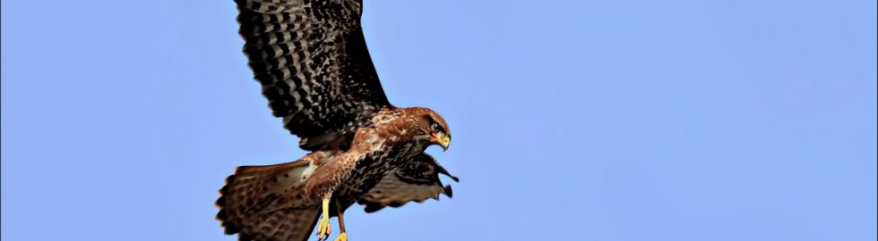 volkanakgul-buzzard-photo-canon