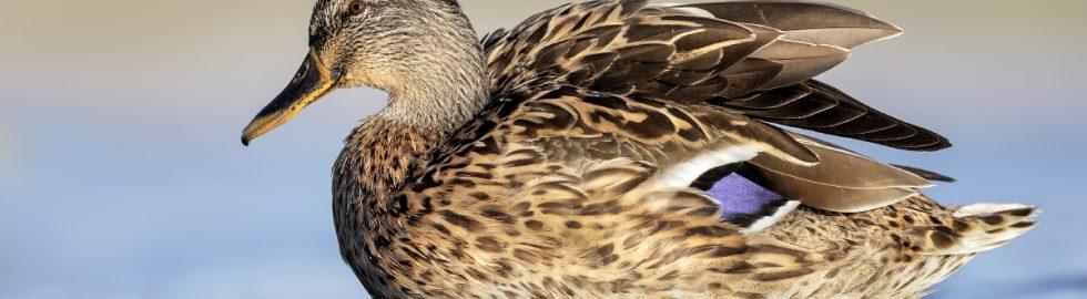 yeşilbaş-ördek-fotograf-cekimi-volkan-akgul-duckphoto
