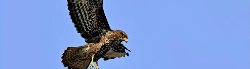 buzzard-photo-birds