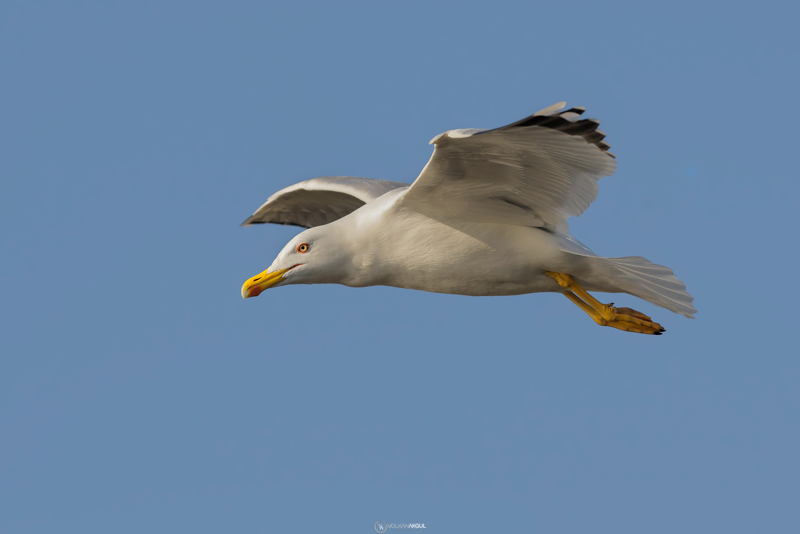 Doğa Fotoğraflari Sakarmeke gaga ve göz mavi deniz kuşu